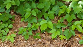 How to Get Rid of Poison Ivy Plants
