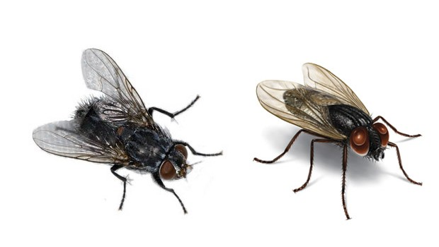How to Get Rid of House Flies with Cloves