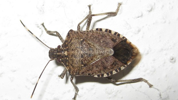 How to get rid of Stink Bugs How to kill Stink Bugs