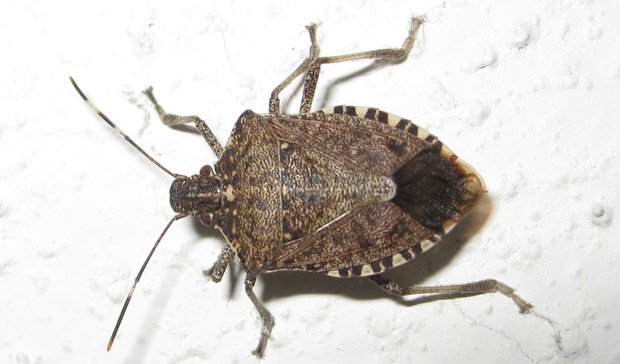 how to get rid of stink bugs in the house naturally home remedies fast home remedies. Black Bedroom Furniture Sets. Home Design Ideas