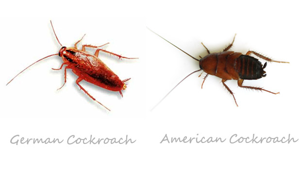 how to get rid of cockroach home remedies fast home remedies. Black Bedroom Furniture Sets. Home Design Ideas