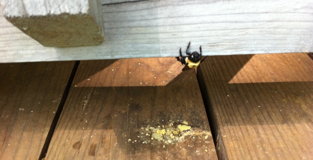 How To Get Rid Of Carpenter Bees Around The House