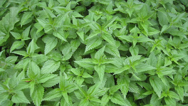 How to Treat a Sting from a Stinging Nettle