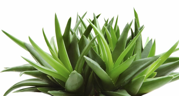How To Get Rid Of Eczema, Home Remedies Aloe vera