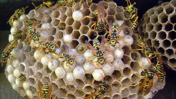 How to Get Rid of a Wasp's Nest, Home Remedies