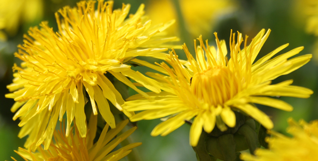Benefits of Dandelion Tea & How to Make Dandelion Tea